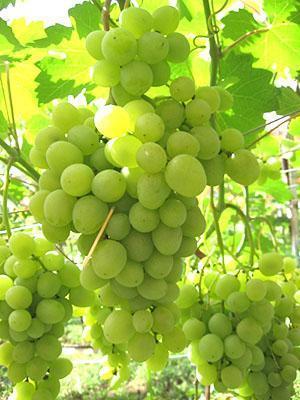 Виноград сорта Супер-Экстра