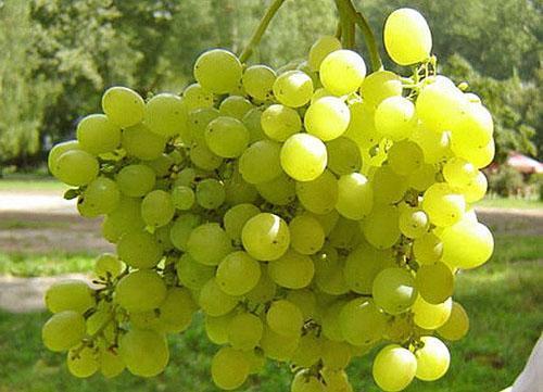Укладка винограда на зиму на урале