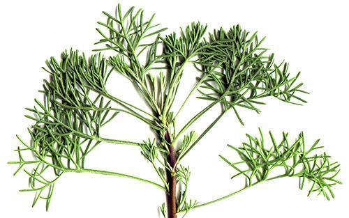 Зелень укропного дерева используют в кулинарных и лечебных целях