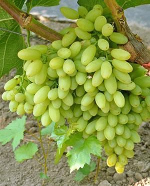 Бессемянный виноград Столетие