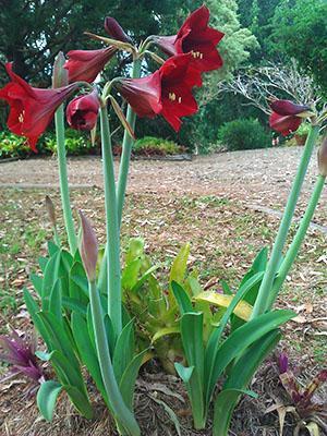 Цветет гиппеаструм в открытом грунте