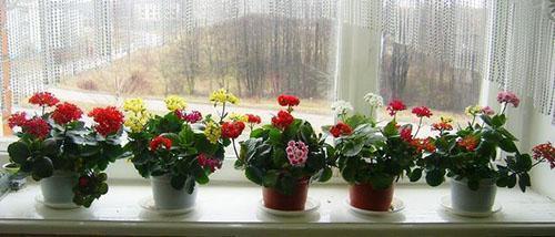 Цветет каланхоэ на подоконнике