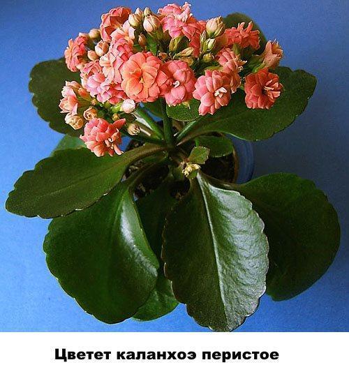 Цветет каланхоэ перистое