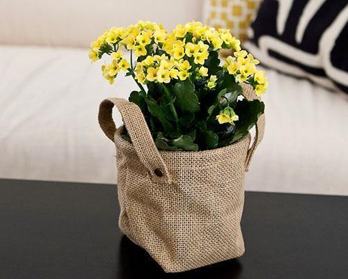 Цветет каланхоэ в домашних условиях