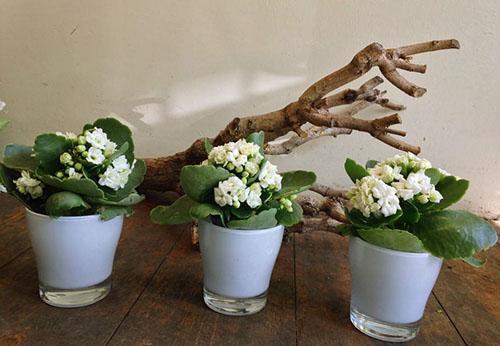 Цветет пересаженный каланхоэ