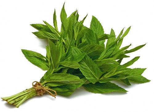 Для приготовления чая используют мяту обыкновенную