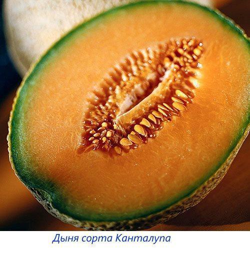 Дыня сорта Канталупа