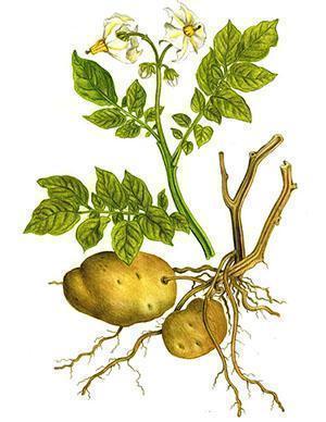 Как лечебное средство используют все части картофеля