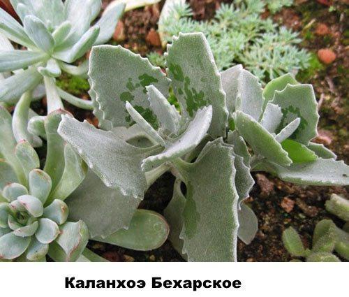 Каланхоэ Бехарское