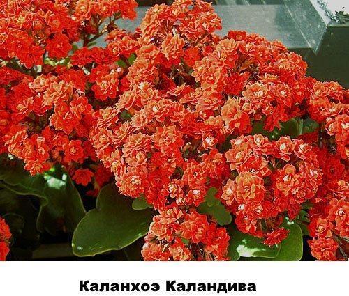 Каланхоэ Каландива