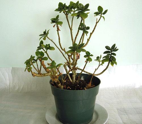 Каланхоэ не цветет и сбрасывает листья