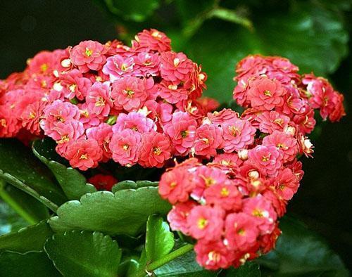 Красивое цветение каланхоэ