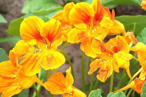 Красивые и полезные цветы настурции