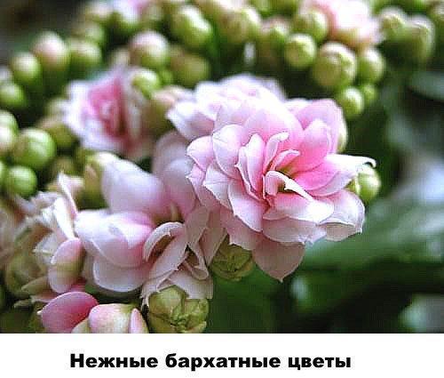 Нежные бархатные цветы