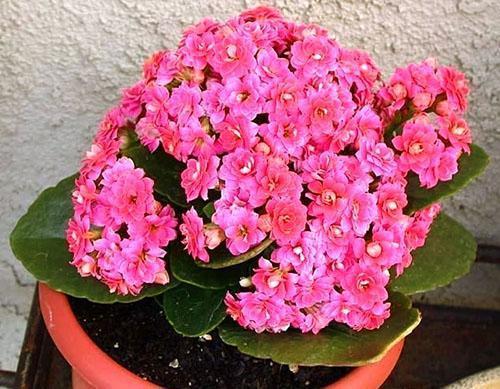 Обильное цветение каланхоэ мини микс