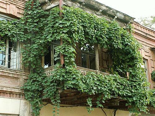 Озеленение балкона диким виноградом