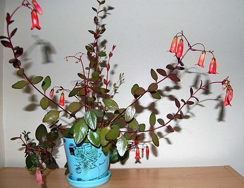 Пересадка растения проводится после окончания цветения
