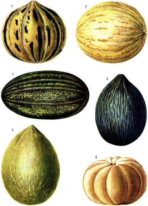 Популярные сорта дынь