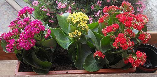 Правильный подбор горшка - один из шагов к цветению каланхоэ