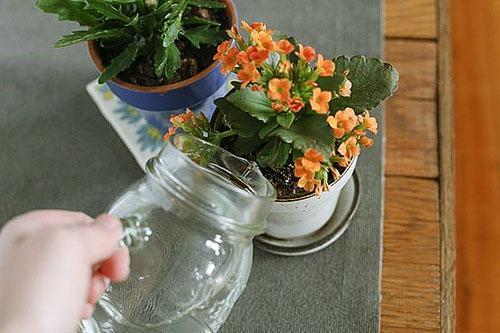 Правильный полив обеспечит обильное цветение