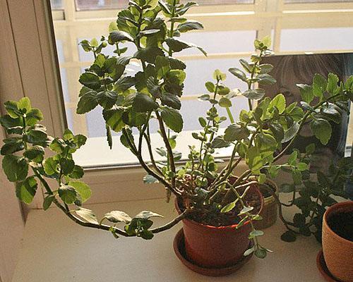 При недостатке света растение вытягивается и перестает цвести