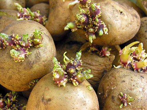 Ростки картофеля тоже используют в народной медицине