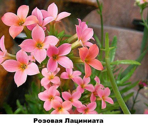 Розовая Лациниата