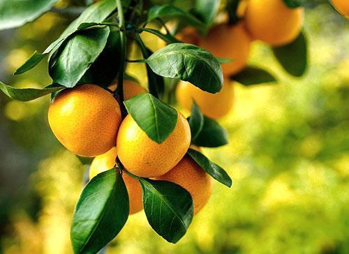 Сочные сладкие мандарины