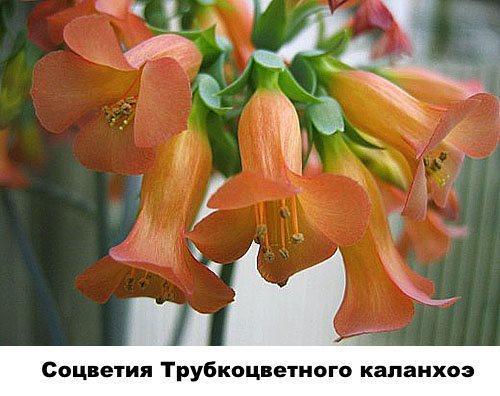 Соцветия Трубкоцветного каланхоэ