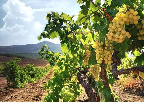 Созревает виноград на полях