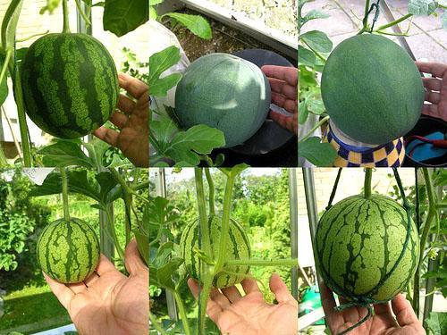 Способы выращивания арбузов