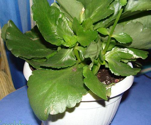 В лечебных целях используют листья взрослых растений