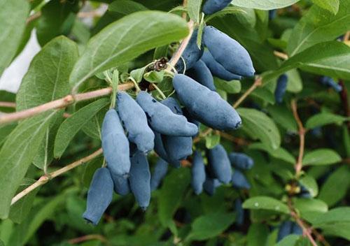 В ягодах жимолости много витаминов и органических кислот