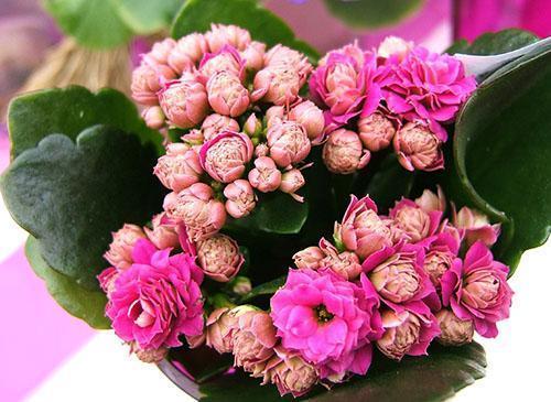 Во время цветения Каландиву пересаживать нельзя