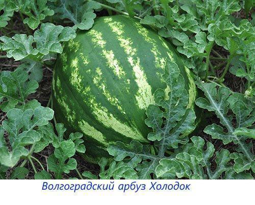 Волгоградский арбуз Холодок