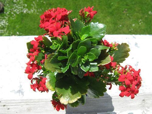 Второе цветение обрезанного каланхоэ