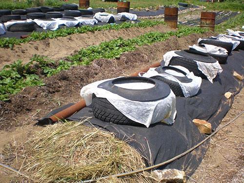 Выращивание арбузов без теплицы