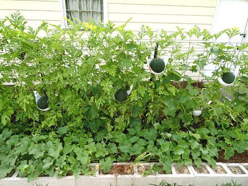 Выращивание арбузов на шпалере