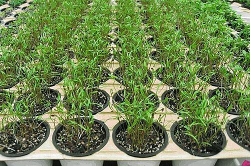 Выращивание рассады кустового укропа
