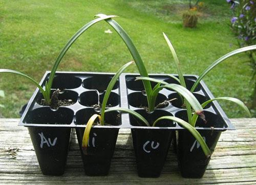 Высадка молодых растений