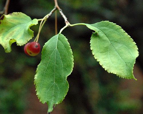 Яблочные листья используют при заболевании бронхов