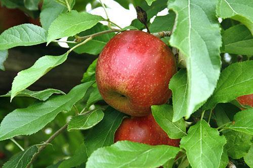 Яблоневые листья полезны для здоровья