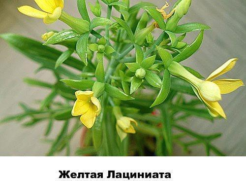 Желтая Лациниата