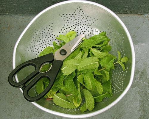 Заготовка лимонной мяты к чаю на зиму