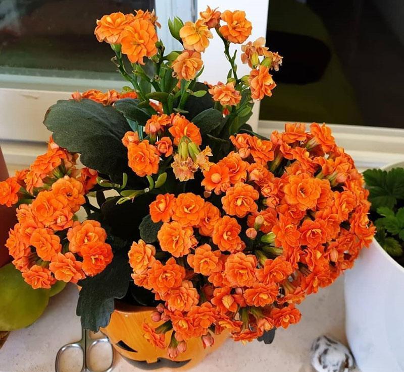 Уход за цветами каланхоэ в домашних условиях с фото