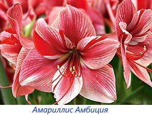 Амариллис Амбиция