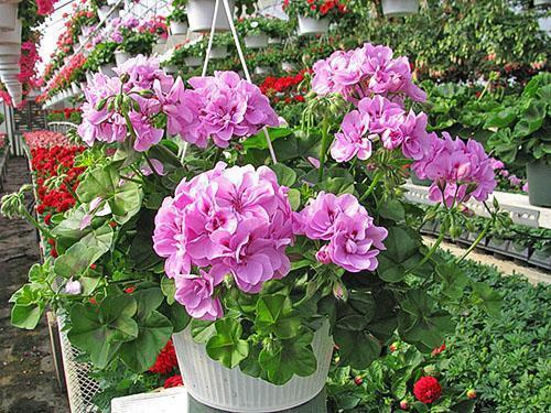 Черенкование пеларгоний проводится после окончания цветения