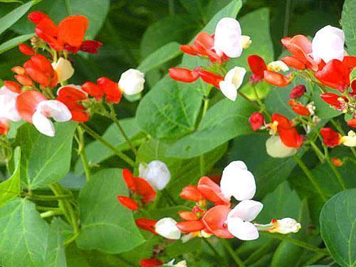 Цветение красной фасоли