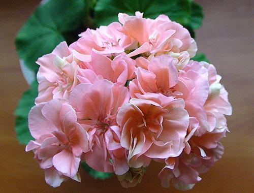 Цветет карликовая пеларгония Ludwigsburger Flair