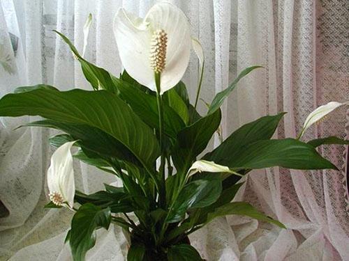 Цветет спатифиллум в хороших условиях